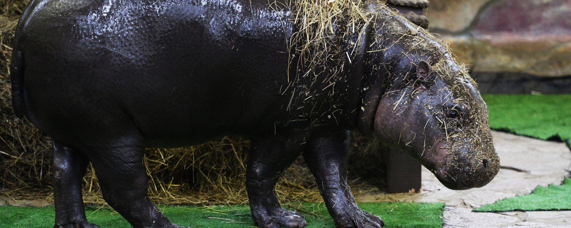 Ein Zwergflusspferd (Symbolfoto) - SNA, 1920, 11.12.2020