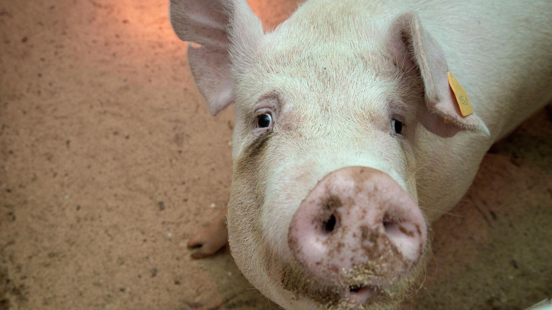 Ein Schwein (Symbolbild) - SNA, 1920, 16.07.2021