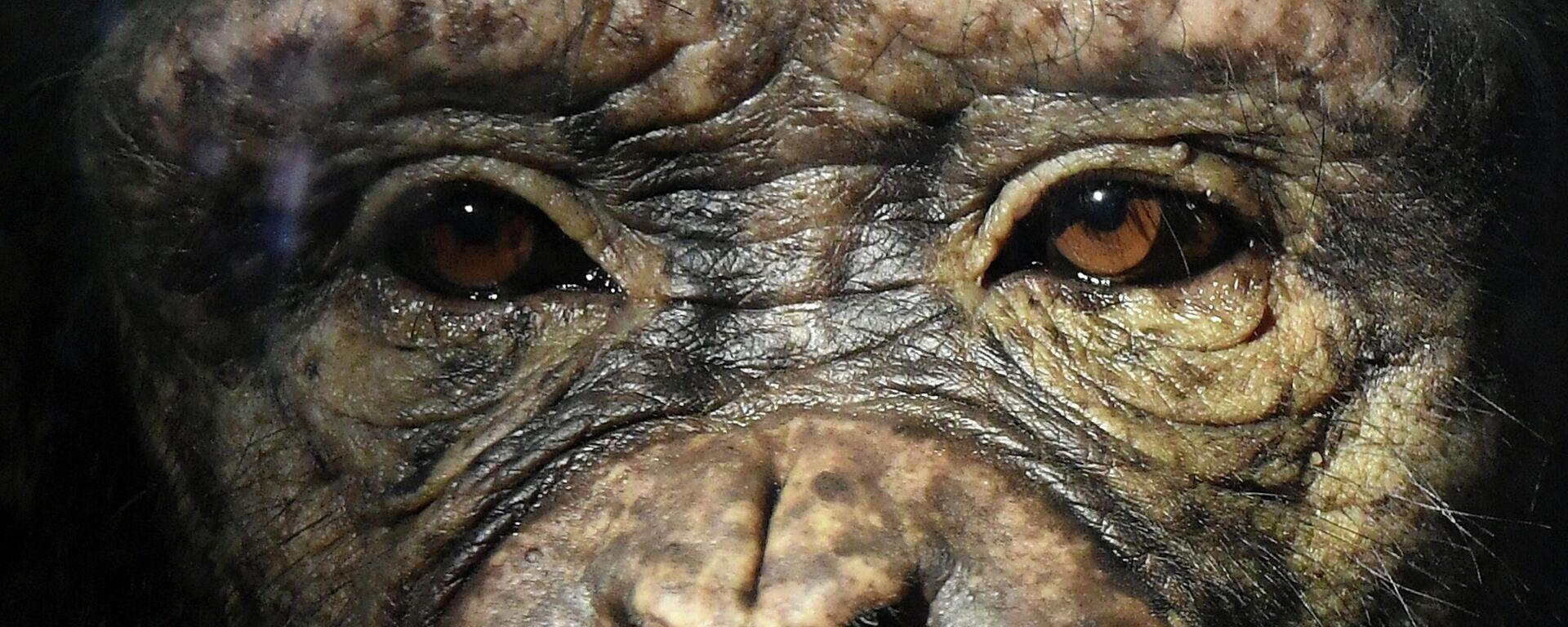 Schimpanse (Symbolbild) - SNA, 1920, 29.01.2021