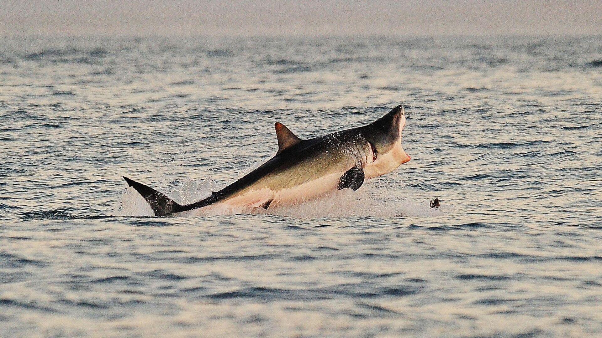 Ein Weißer Hai  - SNA, 1920, 05.02.2021