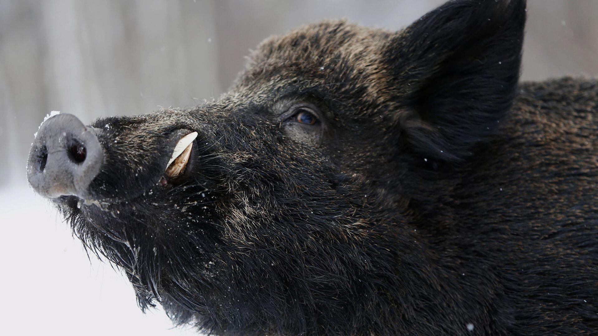 Ein Wildschwein (Symbolbild) - SNA, 1920, 10.02.2021