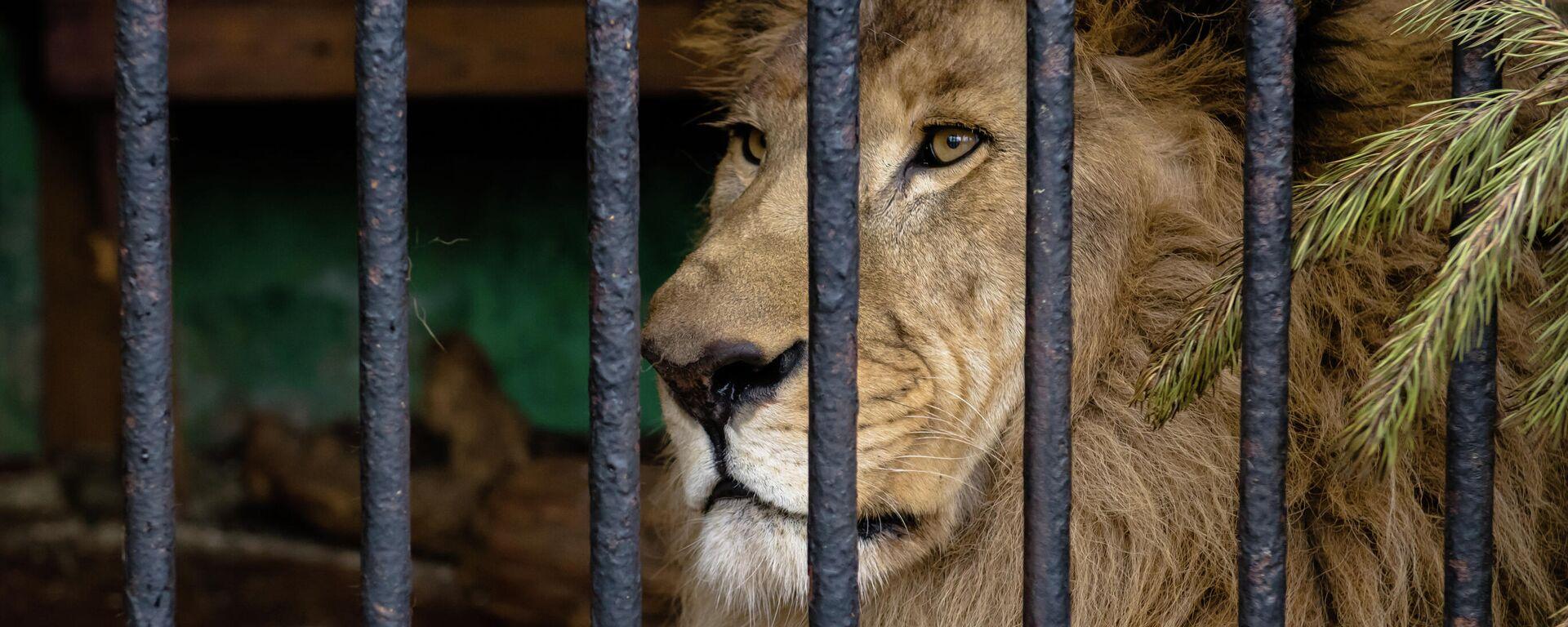 Ein Löwe im Gehege (Symbolbild) - SNA, 1920, 21.02.2021