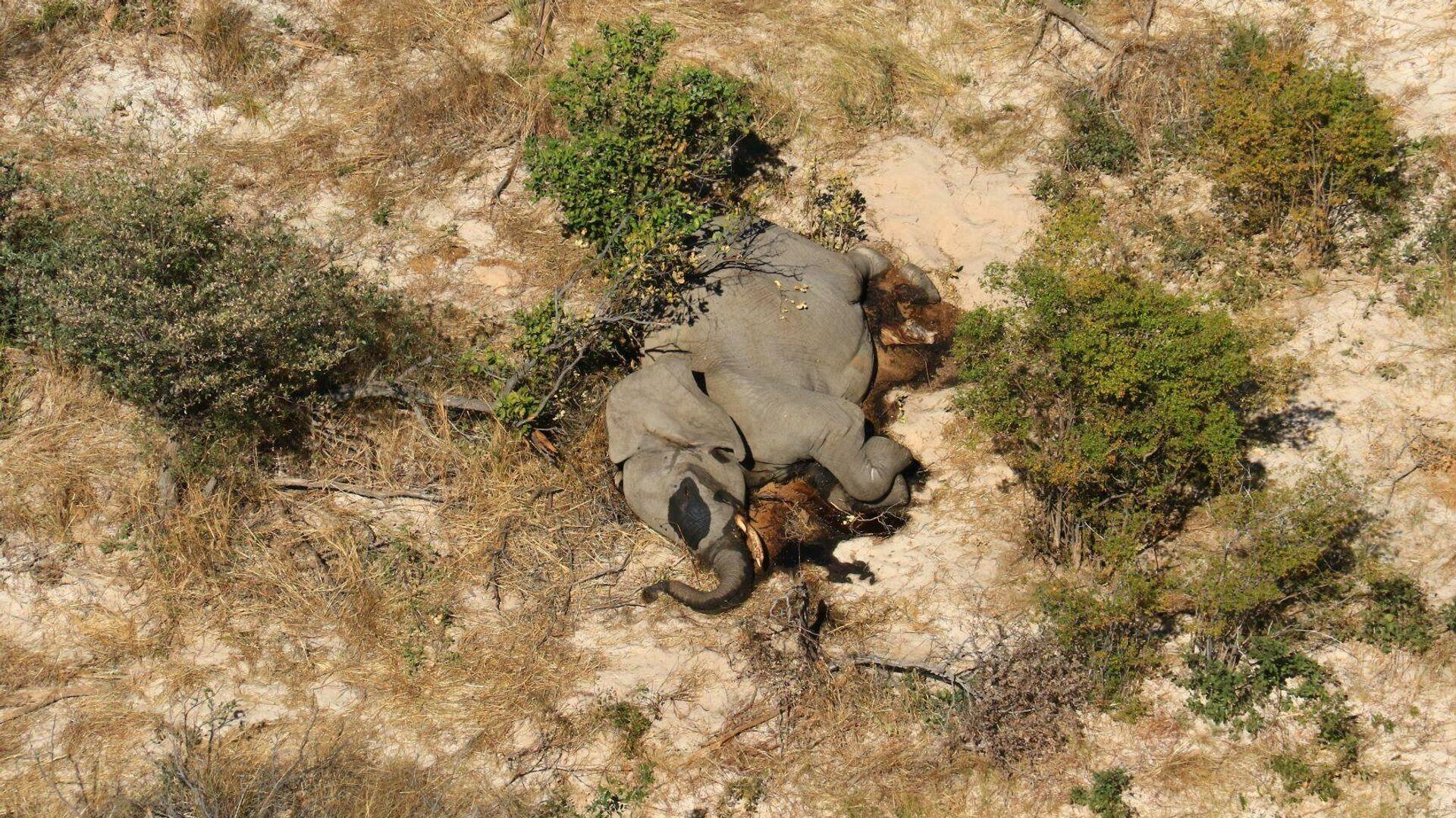 ein Kadaver eines der vielen Elefanten, die auf mysteriöse Weise im Okavango Delta in Botswana verendet sind, 2. Juli 2020  - SNA, 1920, 25.02.2021