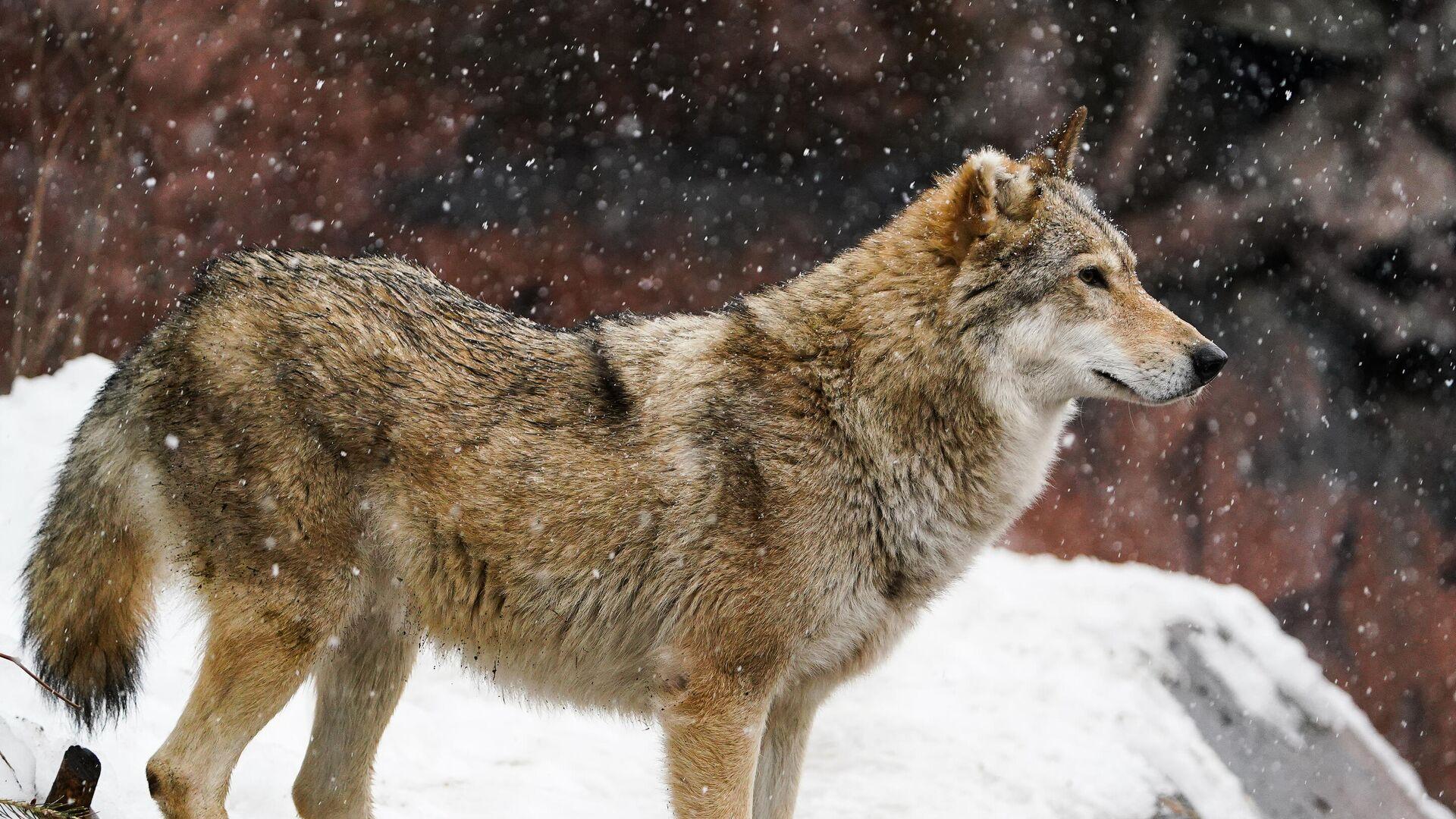 Wolf (Symbolbild) - SNA, 1920, 03.10.2021