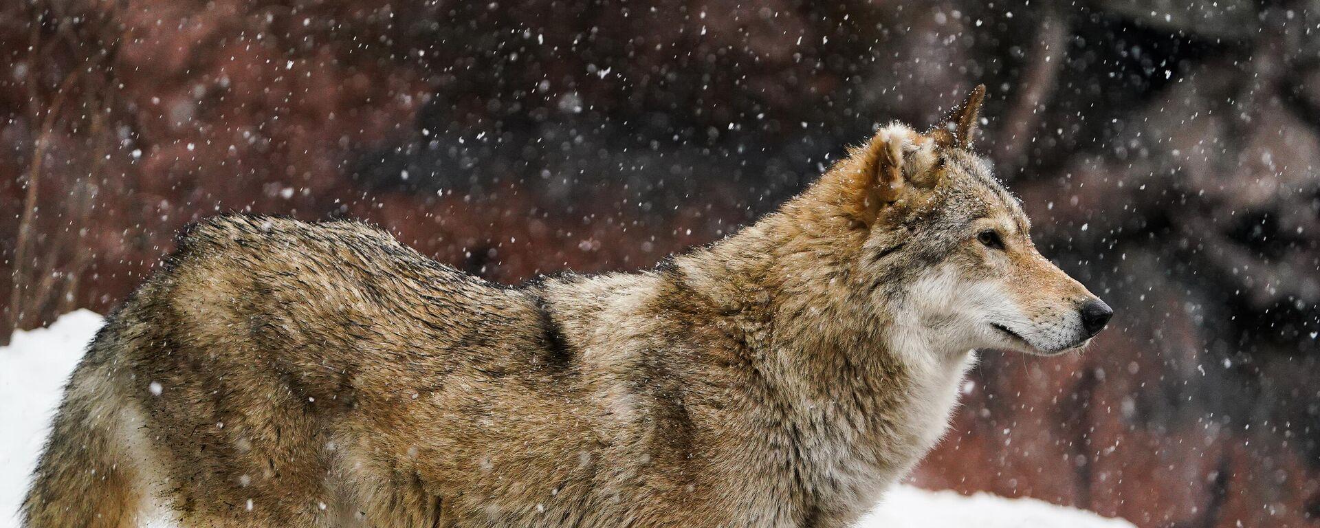 Wolf (Symbolbild) - SNA, 1920, 19.04.2021
