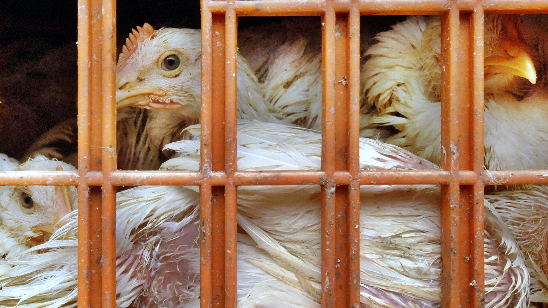 Kisten mit Hühnern - SNA, 1920, 11.05.2021