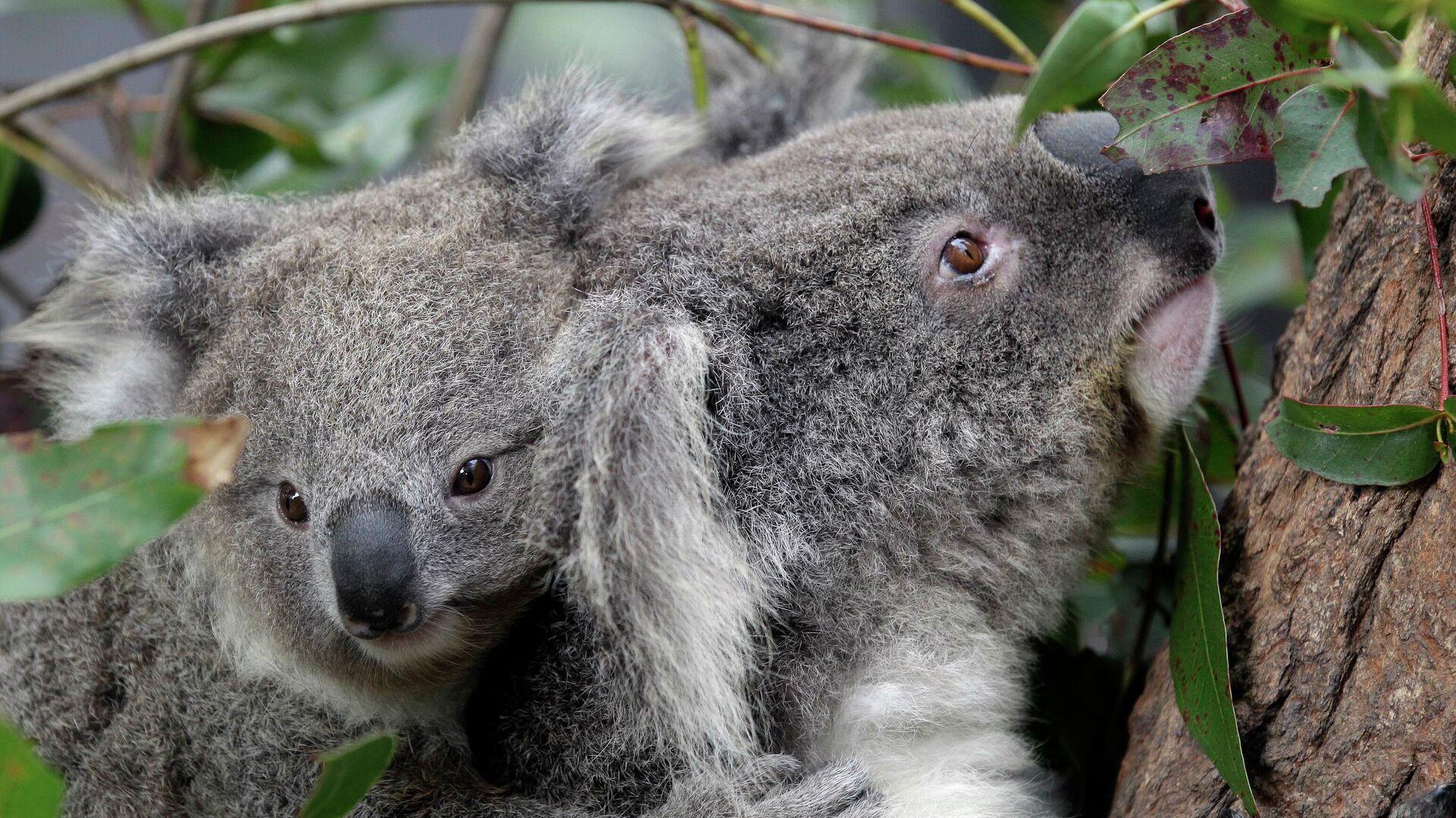 Koalas in Australien - SNA, 1920, 03.06.2021