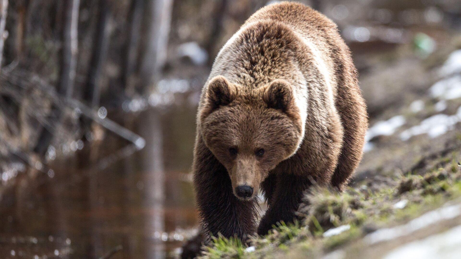 Bär im Nationalpark Jergaki, Region Krasnojarsk - SNA, 1920, 09.07.2021