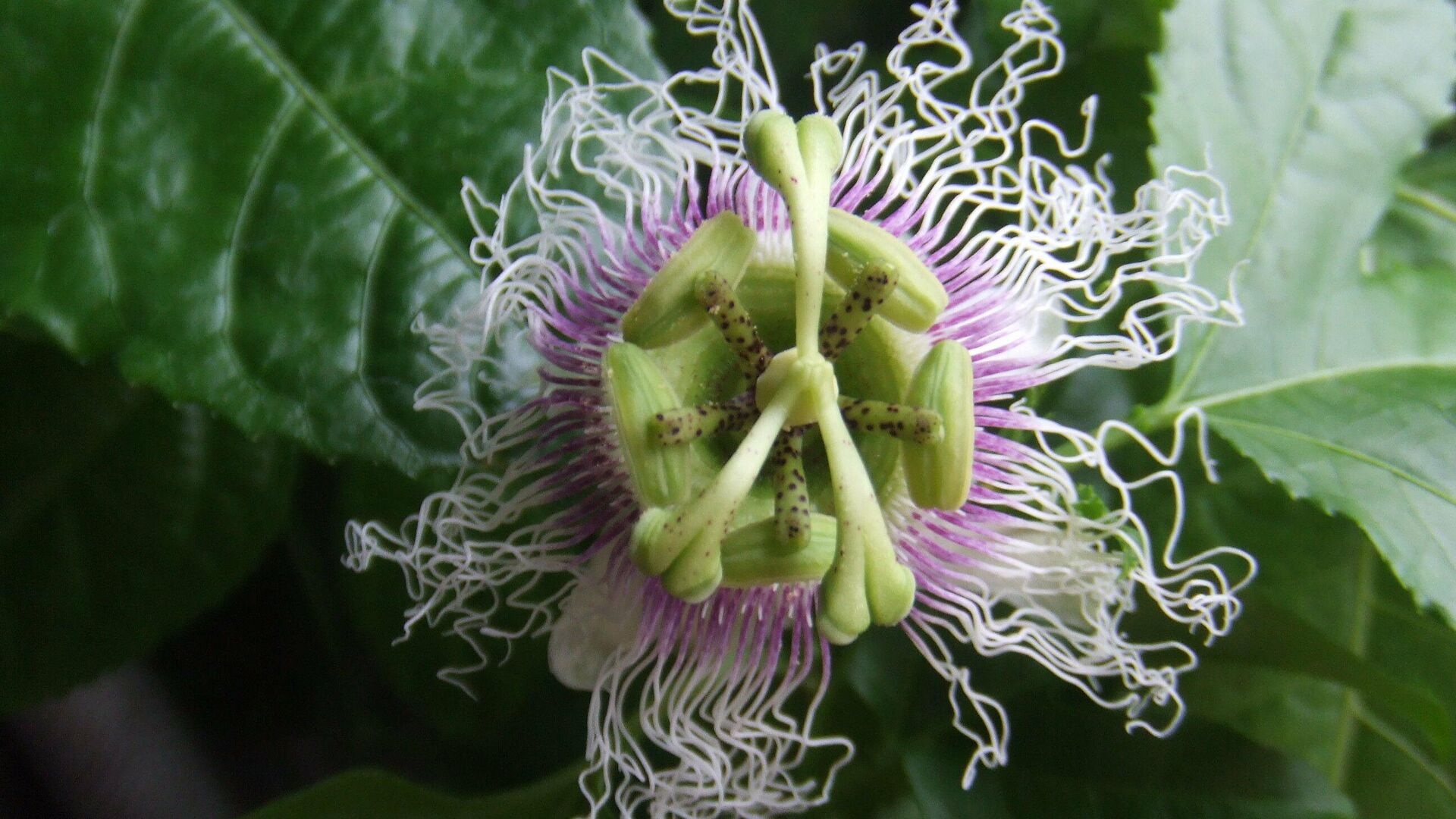 Blüte von Passiflora edulis f. edulis (Marakuja) - SNA, 1920, 01.07.2021