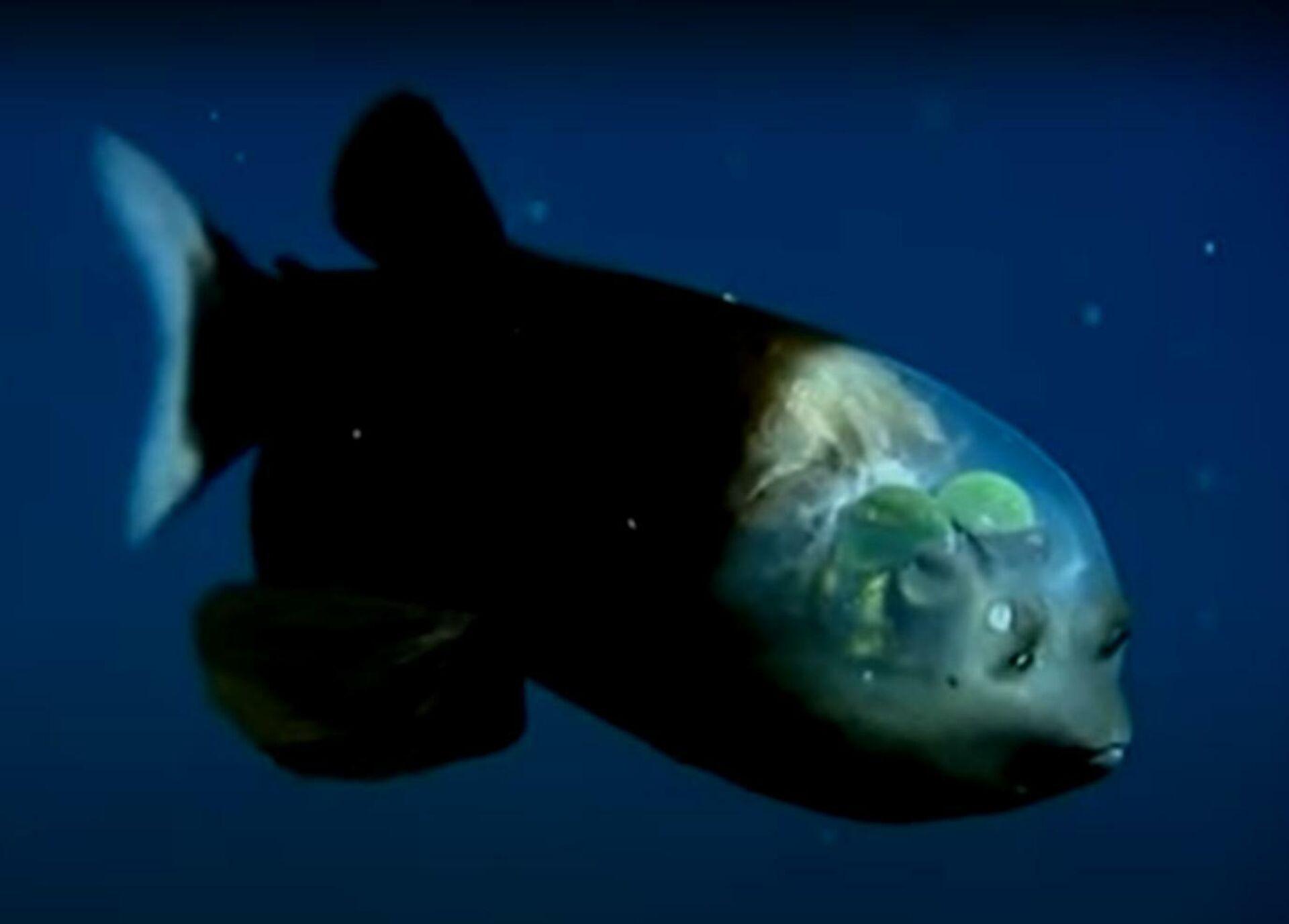 Ein Glaskopffisch - SNA, 1920, 14.07.2021