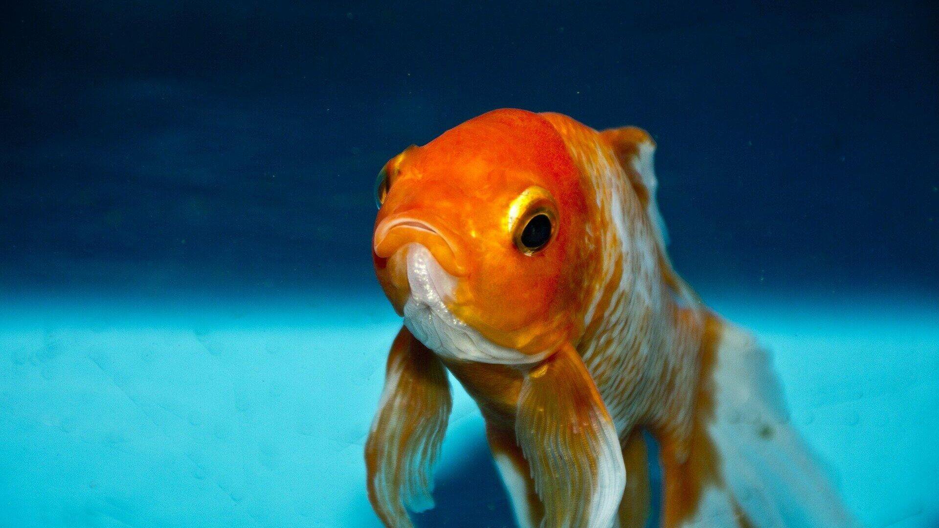 Goldfisch (Symbolbild) - SNA, 1920, 14.07.2021