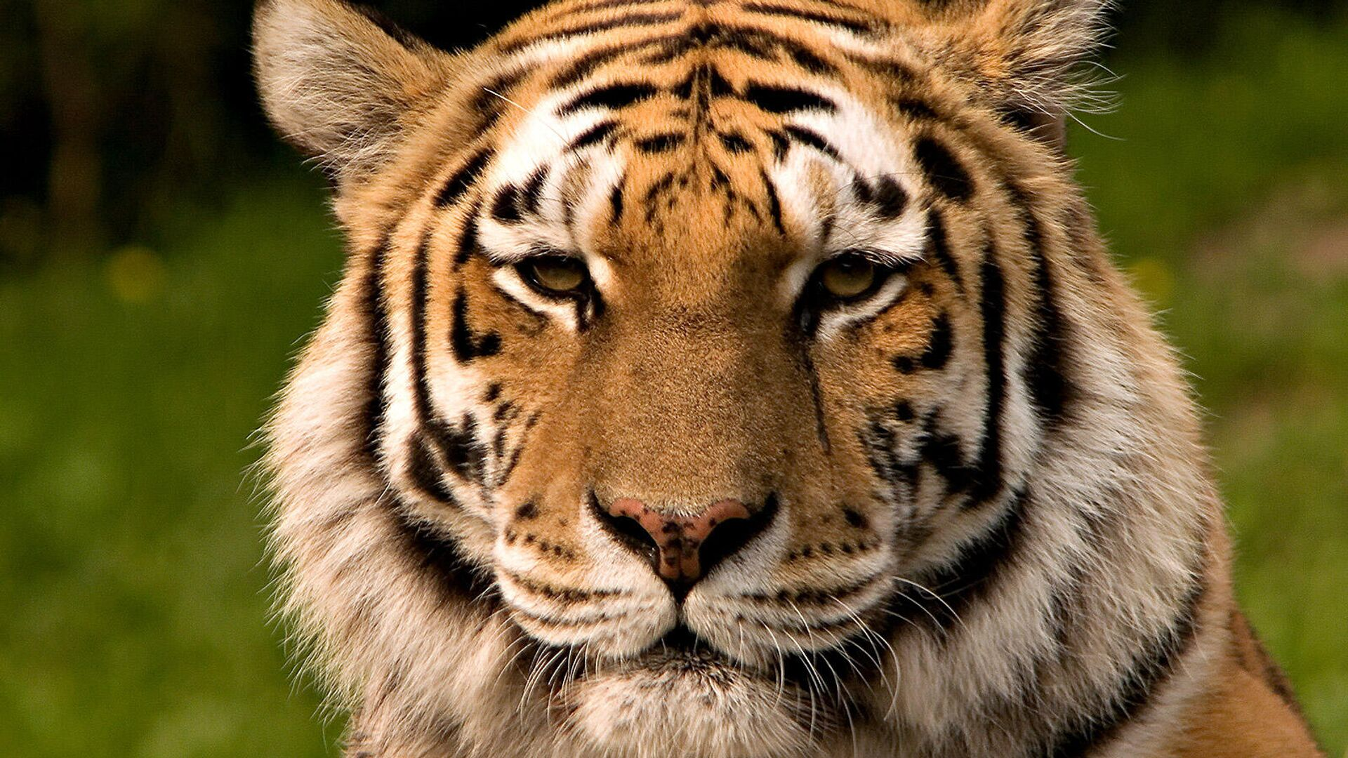 Sibirischer Tiger - SNA, 1920, 29.07.2021