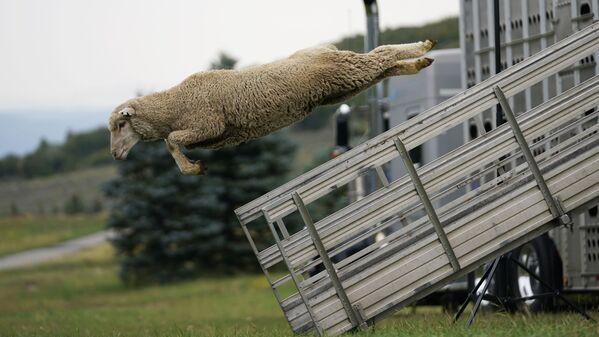 Die Soldier Hollow Classic Sheepdog Championship im US-Bundesstaat Utah. Ein Wettbewerb für Hirtenhunde. Hirten messen sich bei diesem Wettbewerb, wie gut sie mit ihren Hunden eine Schafherde lenken. - SNA