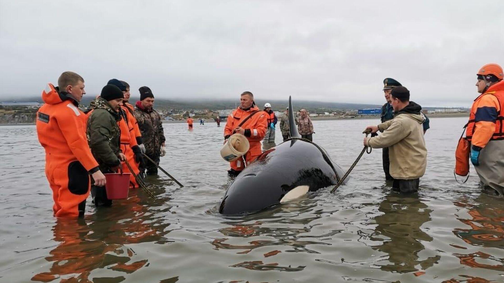 Zivilschutzbeamte und Freiwillige in Magadan retten ein Orca-Baby  - SNA, 1920, 16.09.2021