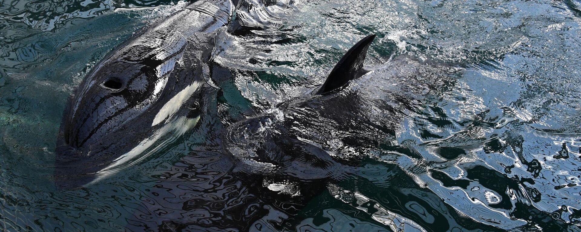 Orcas. Symbolfoto - SNA, 1920, 28.09.2021