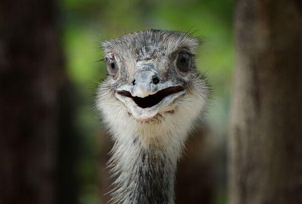 Ein Emu im Pekinger Zoo. - SNA