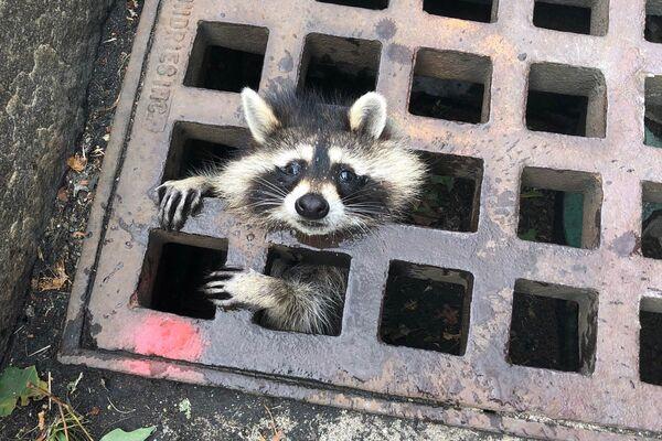 Ein Waschbär blickt durch ein Kanalisationsgitter in der Stadt Newton, US-Bundesstaat Massachusetts. - SNA