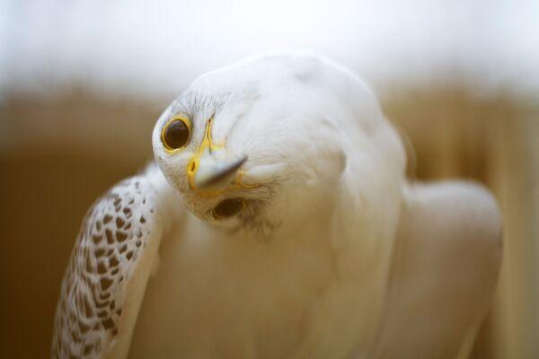 Ein Falke im Zentrum Nebli in Fuentespina, Spanien. - SNA