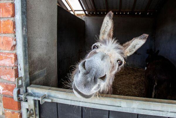 Kleiner Esel schaut aus einem Stall in Donegal Donkey Sanctuary in Irland. - SNA