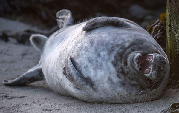 Eine junge Robbe auf der Insel Helgoland in der Nordsee, Deutschland. - SNA