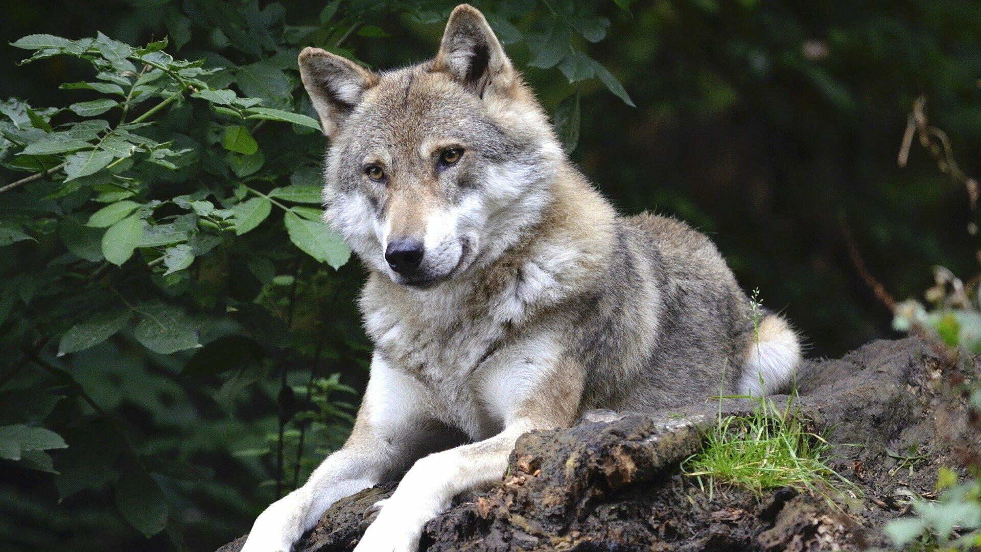 Wolf (Symbolbild) - SNA, 1920, 08.10.2021