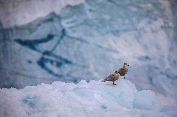 Das Eis hier ist mindestens 100.000 Jahre alt, doch wegen des Klimawandels kann esin nicht allzu ferner Zukunft verschwinden. Foto: Möwen auf dem Gletscher Eqip Sermia in Grönland. - SNA