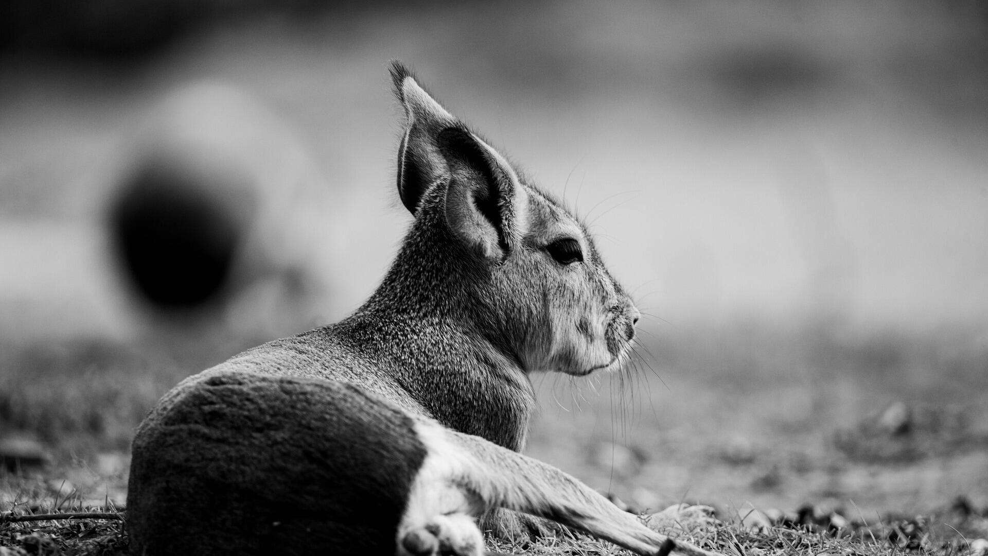 Baby-Känguru - SNA, 1920, 13.10.2021