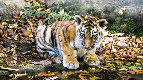 Ein Tigerjunges (Symbolbild) - SNA